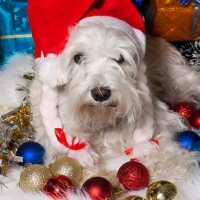 white dog in Santa hat with gift boxes under Christmas tree