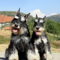 Beautiful miniature schnauzer pair