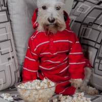 schnauzer dog watching tv or a movie sitting on a grey sofa or couch with popcorn