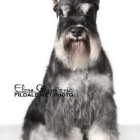 beautiful dog miniature schnauzer